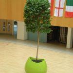 Blob Planter with Ficus Tree