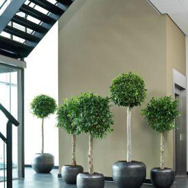 Ficus in Ceramic planters