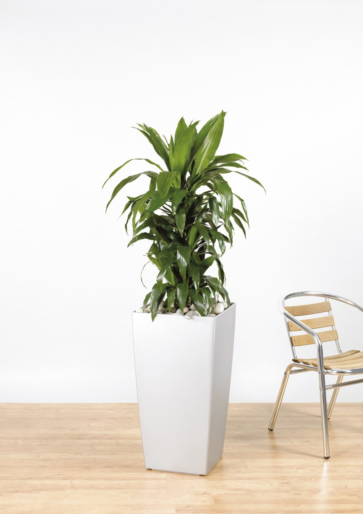 dracaena fragrans 39 janet craig 39 branching the green office. Black Bedroom Furniture Sets. Home Design Ideas