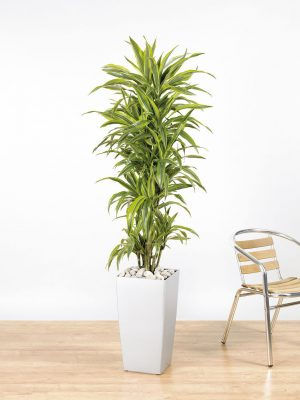 Dracaena fragrans Lemon Lime Branching