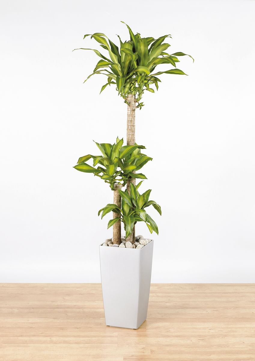 dracaena fragrans 39 massangeana 39 2 the green office. Black Bedroom Furniture Sets. Home Design Ideas
