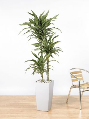 Dracaena fragrans Warneckii