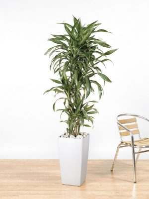 Dracaena fragrans Warneckii Branching