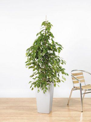 Ficus benjamina Exotica