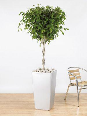 Ficus benjamina Exotica Braided Stem