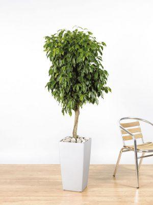 Ficus benjamina Exotica Straight Stem