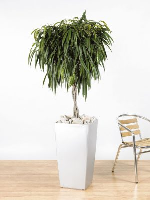 Ficus binnendijikii Alii Braided Stem