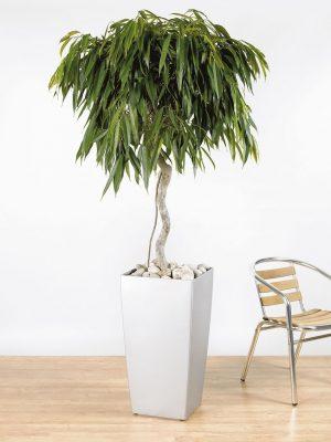 Ficus binnendijikii Alii Spiral Stem