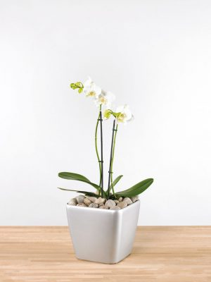 Phalaenopsis orchid Double Stem