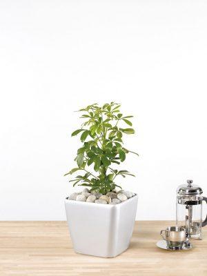 Sheffiera arboricola Compacta
