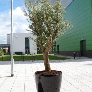 Olive Tree In Classico Planter